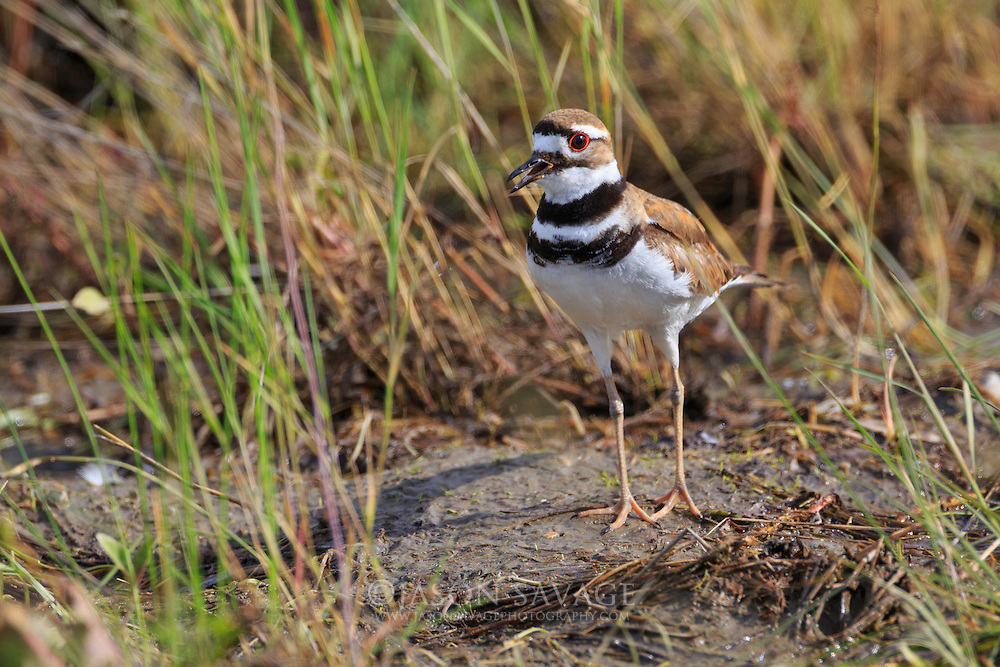 Killdeer on the Beckman Wildlife Management Area, Montana
