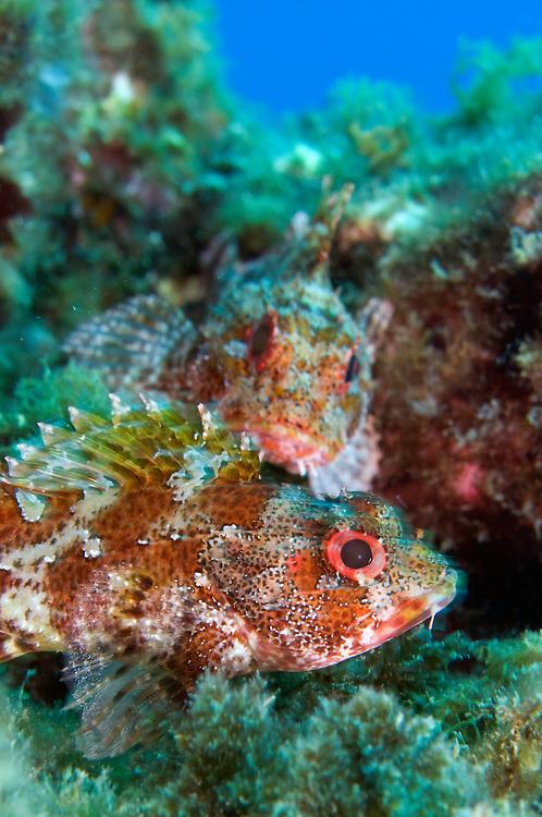 Scorpionfish, portrait, Scorpaena maderensis, Pico, Azores, Portugal