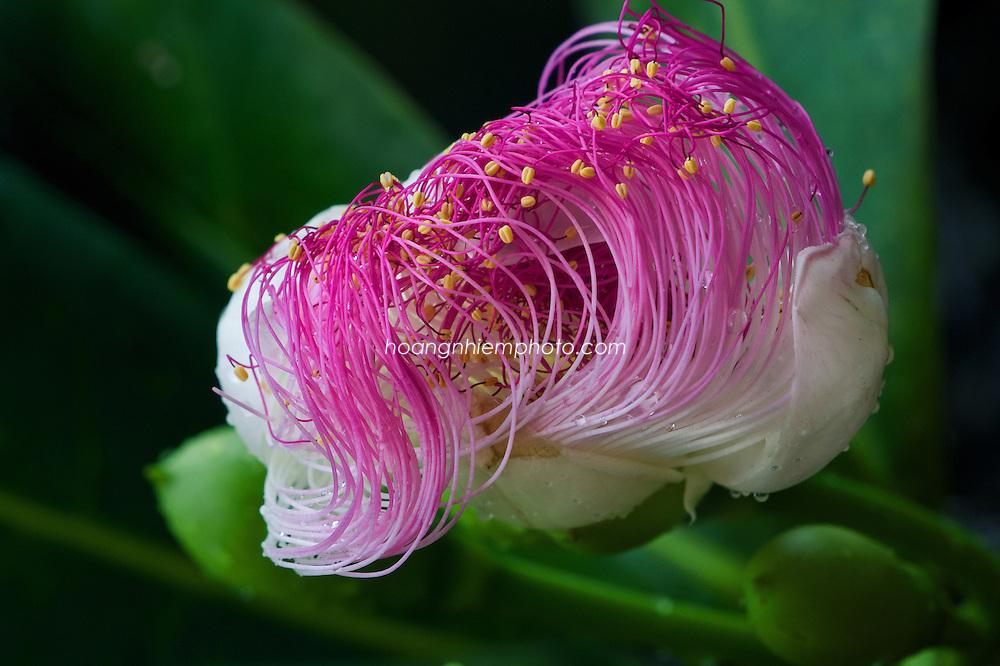 Vietnam Images-Flower-nature-ly son island-Quang Ngai -Hoàng thế Nhiệm