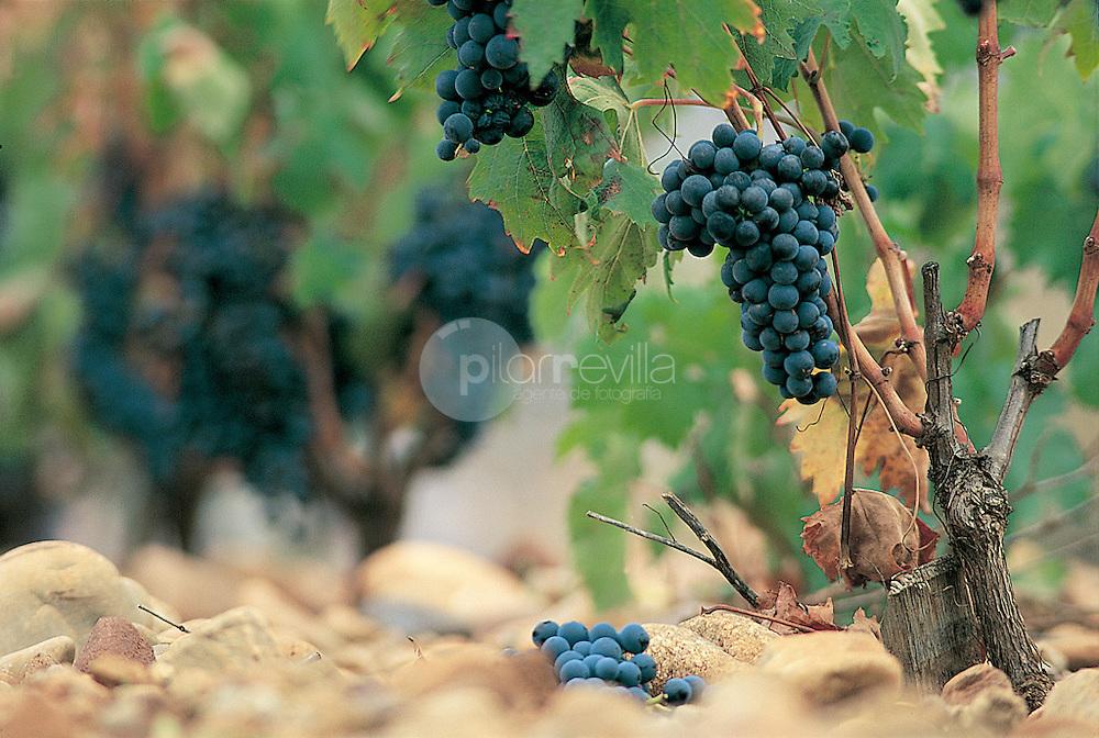 Uva tempranillo. La Rioja ©Daniel Acevedo / PILAR REVILLA