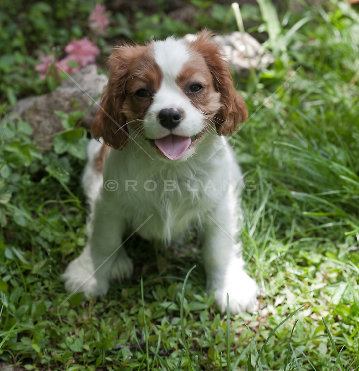 Pure Breed Puppy Outdoors