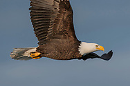 Close view of bald eagle in flight, showing the streamlined body shape, sky background, © 2005 David A. Ponton