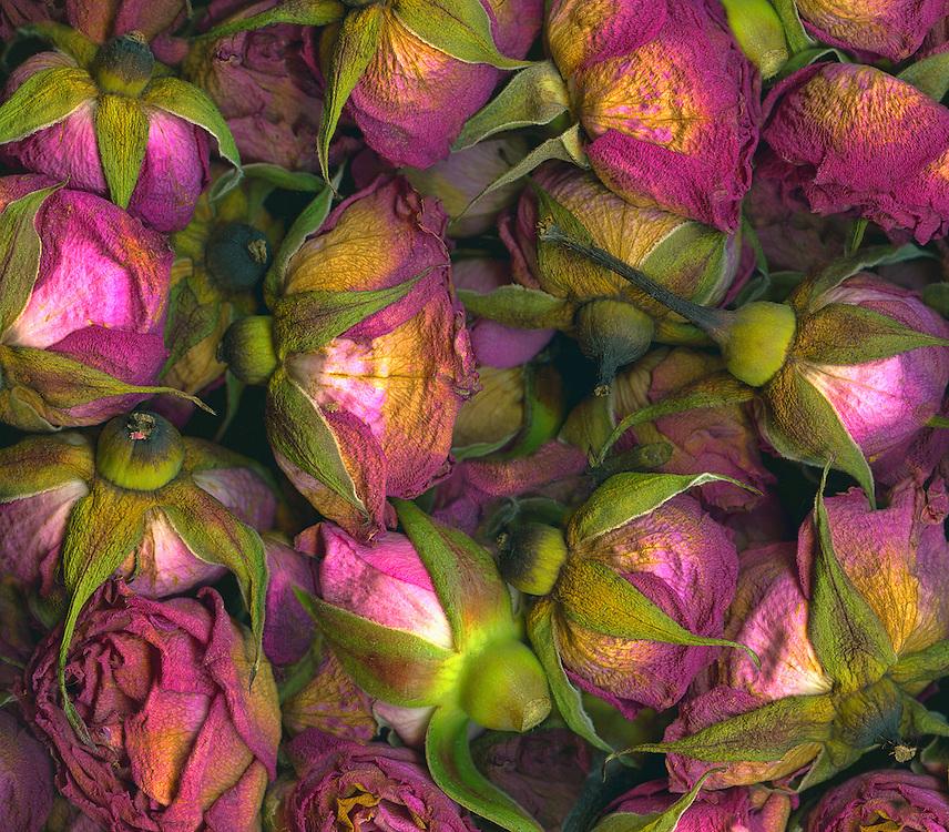 Fading roses / #VAR283