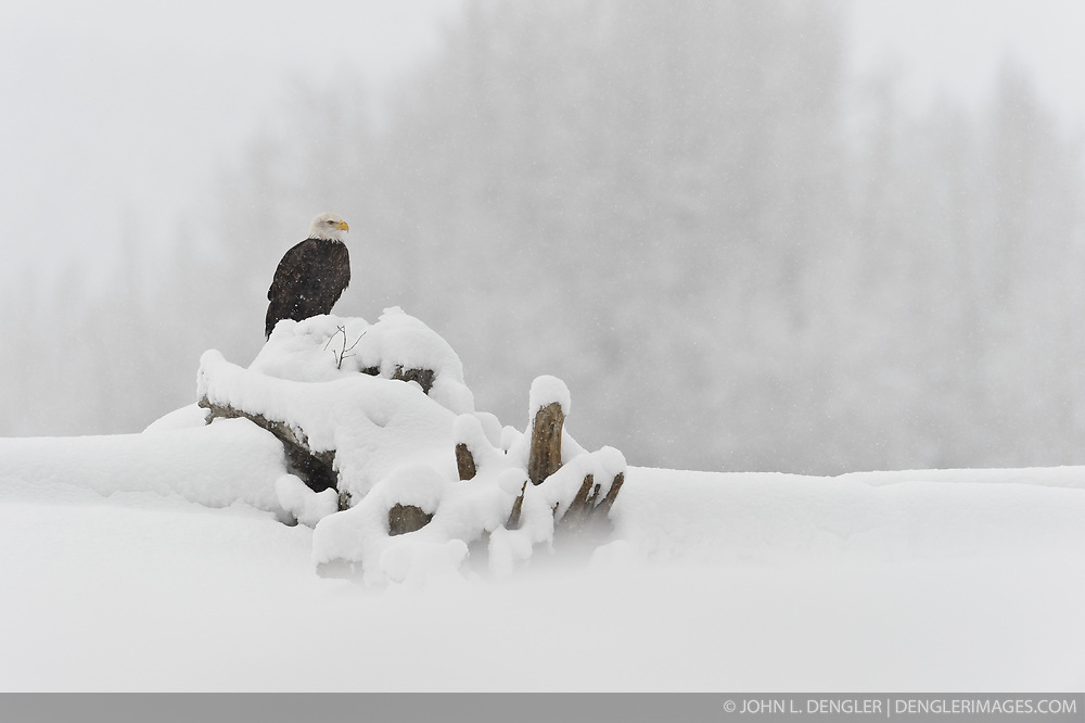 A bald eagle (Haliaeetus leucocephalus) sits on a log on the bank of the Chilkat River while it snows in the Alaska Chilkat Bald Eagle Preserve near Haines, Alaska.