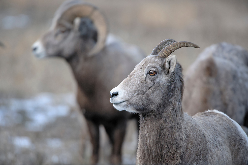 During the Bighorn Sheep (Ovis canadensis) rut a ewe is never far from a watchful ram, Western Montana