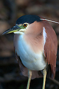 The Nankeen Night Heron (aka Nycticorax caledonicus, Rufous Night Heron or Melabaob) is a medium sized heron common throughout Australia, Indonesia, Papua New Guinea, Philippines and Melanesia. This Nankeen Night Heron is a resident of the Yellow Water Billabong in the Kakadu National Park, Northern Territory, Australia.
