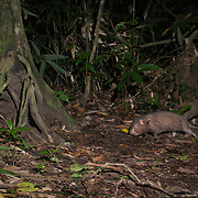 Hoary bamboo rat (Rhizomys pruinosus) caught on a camera trap in Keang Krachan National Park, Thailand.