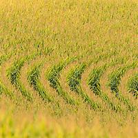 Farmfield pattern of growing corn