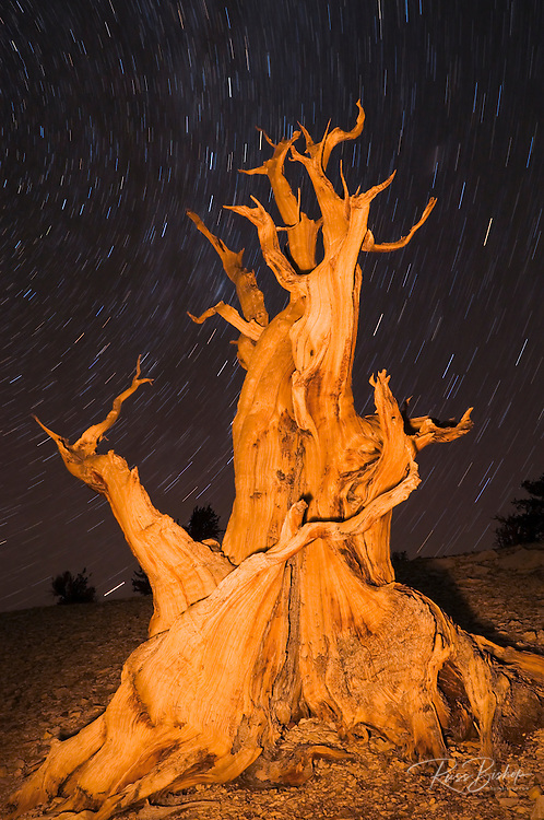 Ancient Bristlecone Pine (Pinus longaeva) under starry sky in the Patriarch Grove, Ancient Bristlecone Pine Forest, White Mountains, California