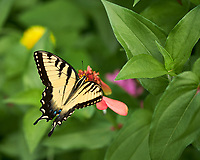 Tiger Swallowtail Butterfly. Image taken with a Fuji X-H1 camera and 80 mm f/2.8 macro lens (ISO 200, 80 mm, f/2.8, 1/300 sec).
