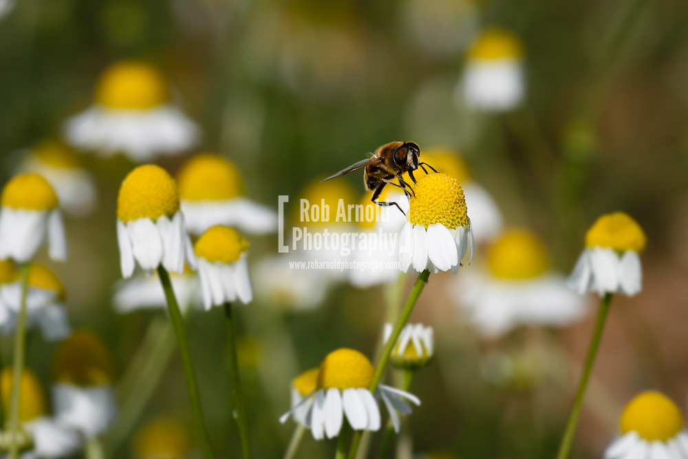 © Rob Arnold.  07/08/2014. Hampshire, UK. A bee on Camomile in fields on the Malshanger estate. The farm grows Black Mitcham peppermint, lavender and camomile as their 'aromatic' crop, along with the staple farm crops such as wheat and barley. The camomile is harvested for oil and tea. Photo by Rob Arnold