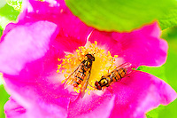 Hoverflies on a flower.