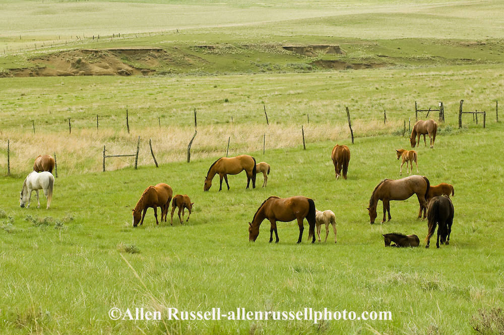 Quarter Horses, stallion, mares and foals, natural breeding<br /> PROPERTY RELEASED