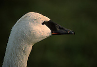 The Trumpeter Swan, Cygnus buccinator, is the largest native North American bird, if measured in terms of weight and length, and is (on average) the largest waterfowl species on earth.
