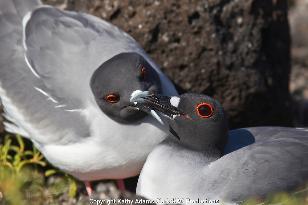 Swallow-tailed gull, Larus furcatus, Plaza Island, Galapagos, Ecuador.