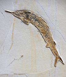 15.03.2016, Museum fuer Naturkunde, Berlin, GER, Naturkundemuseum Berlin, im Bild Versteinerung eines Schnabelfisch (Aspidorhynchus acutirostris) // Exhibits in the Natural History Museum Museum fuer Naturkunde in Berlin, Germany on 2016/03/15. EXPA Pictures © 2016, PhotoCredit: EXPA/ Eibner-Pressefoto/ Schulz<br /> <br /> *****ATTENTION - OUT of GER*****