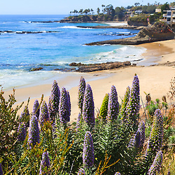 Photo of California coast purple cone shaped flowers (Echium Candicans / Pride of Madeira / Perennial) in Laguna Beach with the Pacific Ocean shoreline and beach. Laguna Beach is a beach city in Orange County Southern California.
