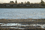 Wintering Shorebirds at Elsie Roember Bird Sanctuary, Alameda, California