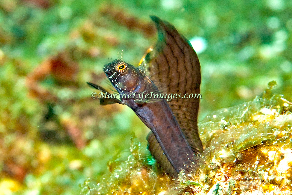 Sailfin Blenny inhabit shallow clear water areas of rock rubble and sand, perch in holes with head and verntral fins exposed Tropical West Atlantic; picture taken Tobago.