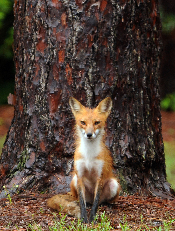 A fox sits beneath a tree around Greenfield Lake during a break in the rain Wednesday, May 30, 2012 in Wilmington, N.C.  Photo by Mike Spencer