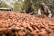 Cocoa farmer Lawson Lanquaye Mensah (right), 70, and a farm worker spread cocoa beans over a mat where they will dry in the sun at Mensah's farm in the town of Assin Adadientem, roughly 100km west of Ghana's capital Accra on Sat. January 21, 2007. A bag of 65 kg of dry cocoa beans will sell for just over $60 - Mensah says the profit he makes on one bag barely reaches $15.