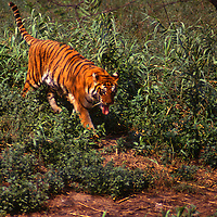 Tiger, India photograph photography