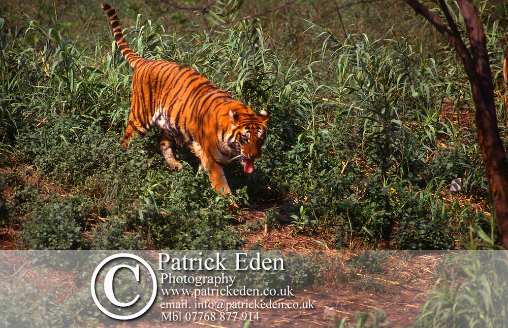 Tiger, India photograph photography