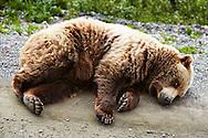 A grizzly bear casually takes a roadside nap in Denali National Park, Alaska.