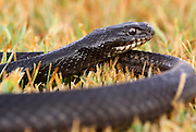 Large Whipsnake (Coluber jugularis) photographed in Israel in May