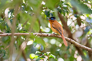 Female of the malagasy paradise flycatcher (Terpsiphone mutata, red morph) from Andasibe, eastern Madagascar