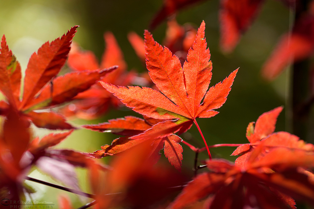 Bright red autumn leaves on a decorative Japanese maple tree.