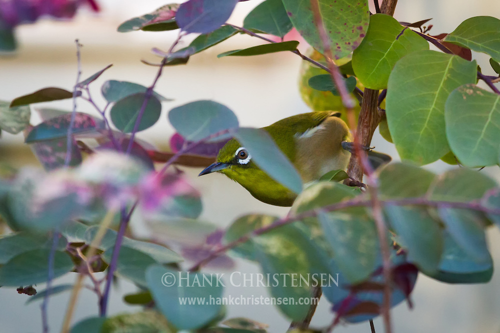 A shy Japanese white-eye peaks out from behind leaves as it perches on a narrow branch.