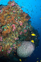 A healthy reef wall, teeming with colorful hard and soft corals, sponges, and reef fish.<br /> <br /> Shot in Indonesia