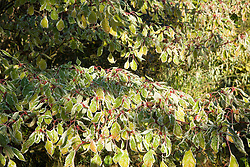 Cornus controversa 'Variegata' in autumn colour. Dogwood