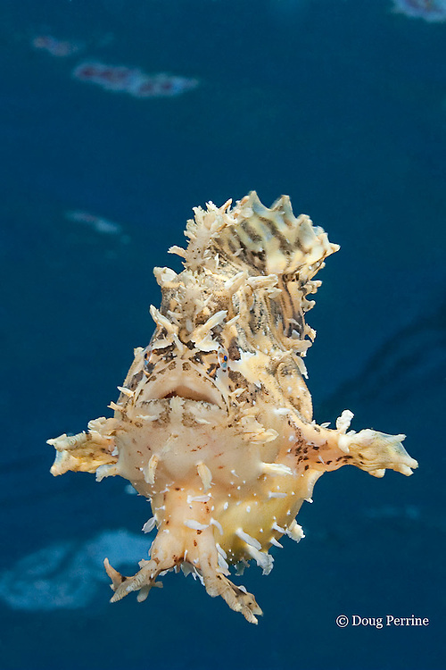 sargassum frogfish or sargassumfish, Histrio histrio, swimming in open ocean after abandoning a piece of drifting rope, Kona Coast, Big Island, Hawaii, U.S.A. ( Central Pacific Ocean )