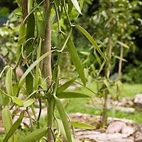 Huahine, French Polynesia, Vanilla farm