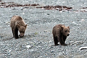 Brown bear cubs walk along the beach at the McNeil River State Game Sanctuary on the Kenai Peninsula, Alaska. The remote site is accessed only with a special permit and is the world's largest seasonal population of brown bears in their natural environment.