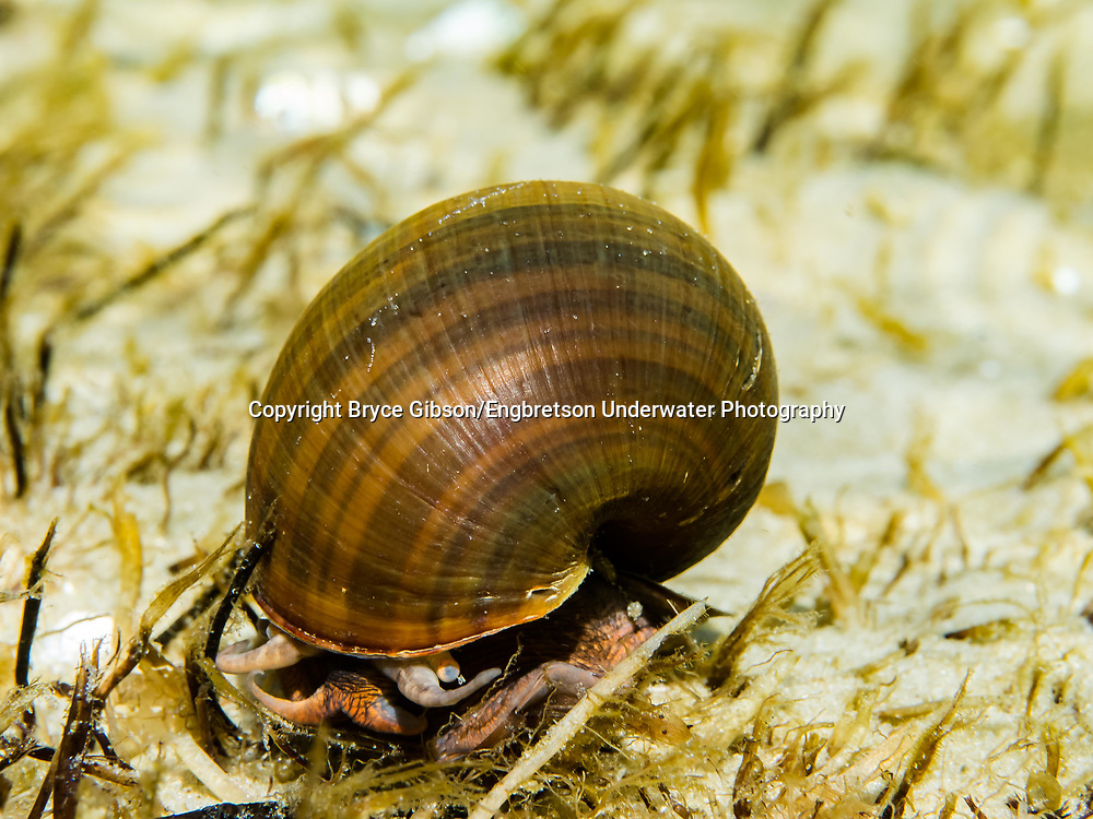 Apple Snail<br /> <br /> Bryce Gibson/Engbretson Underwater Photography