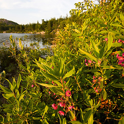 Sheep laurel next to The Bowl in Acadia National Park Maine USA
