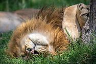 Male lion , (Panthera leo) sleeps in Maasai Mara National Park, Kenya, Africa <br /> male is named Chongo