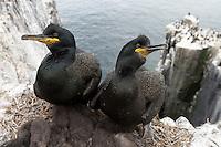 Krähenscharben im Nest, Farne Islands, England