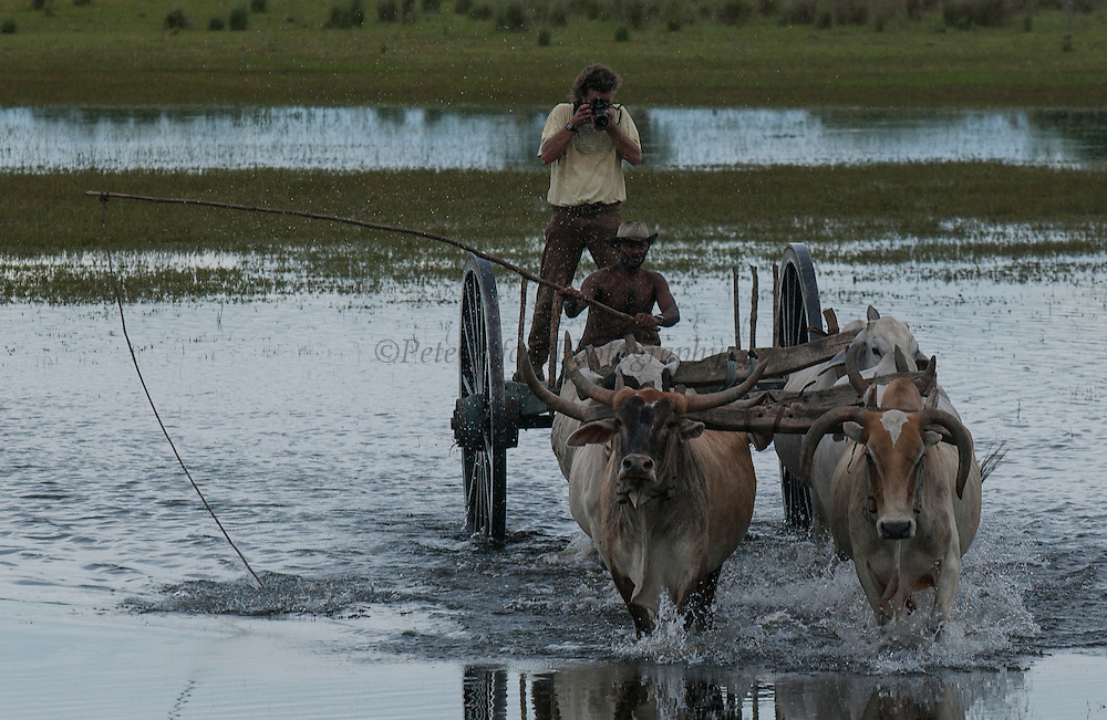 Ox cart being used during the floods when no other vehicle can manage the terrain. Central Pantanal.<br /> Pantanal. Largest contiguous wetland system in the world. Mato Grosso do Sul Province. BRAZIL.  South America