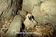00781-00401 Black Vulture (Coragyps atratus) nestling approx 3 wks old   IL