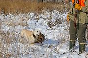 Cole Lieser's Yellow Lab, Moose, retrieves a pheasant during a late season hunt in South Dakota