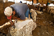 "05 JUNE 2011 - GREER, AZ: Albert Silva shears sheep at the Sheep Springs Sheep Co summer shearing camp northwest of Greer. Mark Pedersen (CQ), of Sheep Springs Sheep Co, said they drove about 2,000 sheep from Chandler up to their summer pastures near Greer. They were supposed to start shearing on Friday, but didn't start till Friday because of the Wallow Fire. They also run cattle on land southeast of the sheep pasture, closer to Greer. Pedersen said they were prepared to move both the cattle and the sheep if they had to. He said the biggest problem with the smoke was that it bothered the sheeps' lungs much the same way it bother people's lungs. The fire grew to more than 180,000 acres by Sunday with zero containment. A ""Type I"" incident command team has taken command of the fire.  PHOTO BY JACK KURTZ"