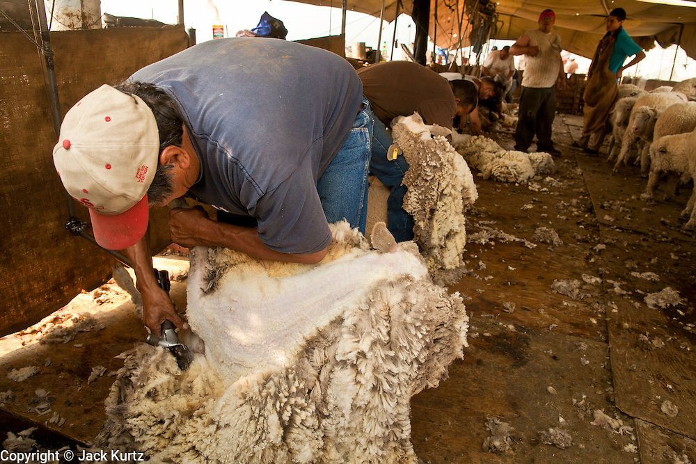 """05 JUNE 2011 - GREER, AZ: Albert Silva shears sheep at the Sheep Springs Sheep Co summer shearing camp northwest of Greer. Mark Pedersen (CQ), of Sheep Springs Sheep Co, said they drove about 2,000 sheep from Chandler up to their summer pastures near Greer. They were supposed to start shearing on Friday, but didn't start till Friday because of the Wallow Fire. They also run cattle on land southeast of the sheep pasture, closer to Greer. Pedersen said they were prepared to move both the cattle and the sheep if they had to. He said the biggest problem with the smoke was that it bothered the sheeps' lungs much the same way it bother people's lungs. The fire grew to more than 180,000 acres by Sunday with zero containment. A """"Type I"""" incident command team has taken command of the fire.  PHOTO BY JACK KURTZ"""
