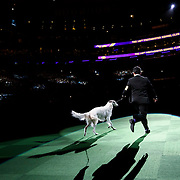 "February 16, 2016 - New York, NY : The Borzoi enters the arena for Best of Show judging during the 140th Annual Westminster Kennel Club Dog Show at Madison Square Garden in Manhattan on Tuesday evening, February 16, 2016. (2016 Reserve Best In Show was awarded to ""CH Belisarius Jp My Sassy Girl,"" a Borzoi.)  CREDIT: Karsten Moran for The New York Times"