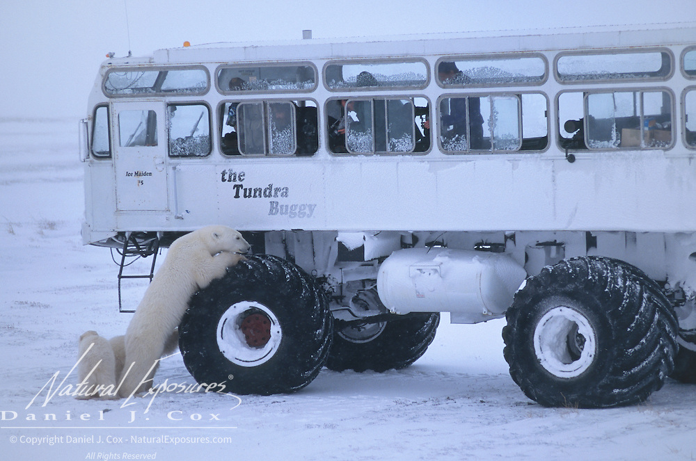Polar bear (Ursus maritimus) leaning on the tire of a tundra buggy used to photograph polar bears. Canada