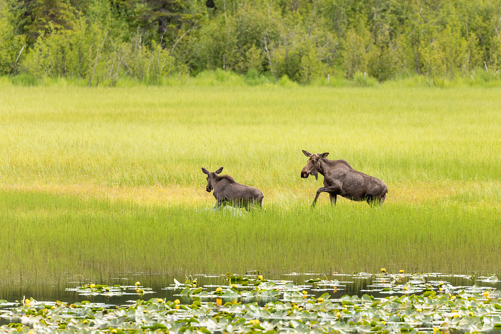 Moose (Alces alces) foraging in pond in Chugach National Forest on Kenai Peninsula in Southcentral Alaska. Summer. Afternoon.