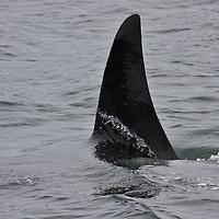 Grenville Channel Killer Whale 6-feet-tall dorsal fin